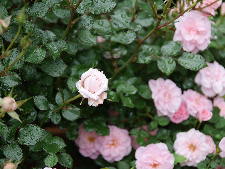 レディ・メイアンディナ(ミニバラ)の花が咲いた。2020年-3.jpg