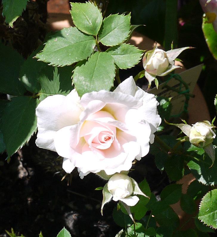 レディ・メイアンディナ(ミニバラ)の花が増えてきた。2017年-3.jpg