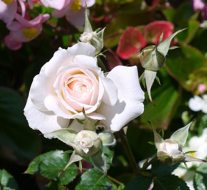 レディ・メイアンディナ(ミニバラ)の花が増えてきた。2017年-4.jpg