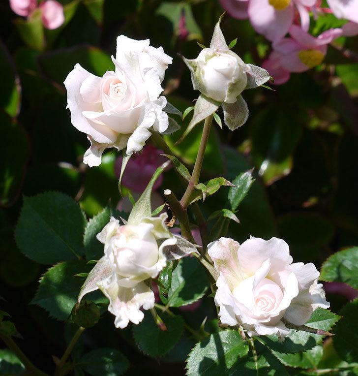 レディ・メイアンディナ(ミニバラ)の花が増えてきた。2017年-5.jpg