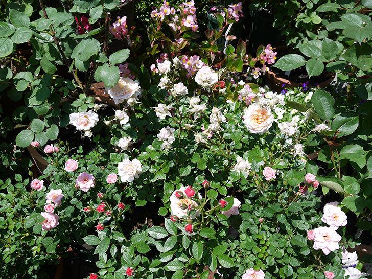 レディ・メイアンディナ(ミニバラ)の花が増えてきた。2017年-6.jpg