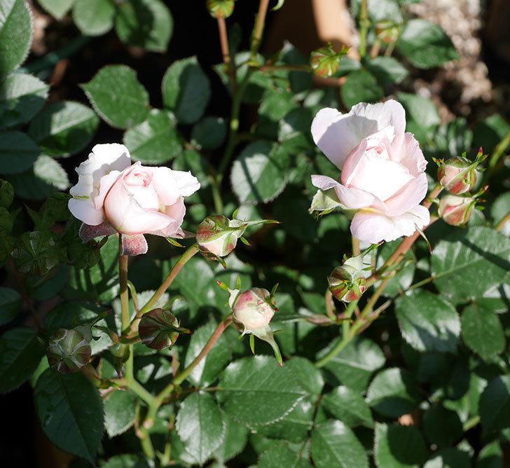 レディ・メイアンディナ(ミニバラ)の花が少し咲いた。2019年-1.jpg