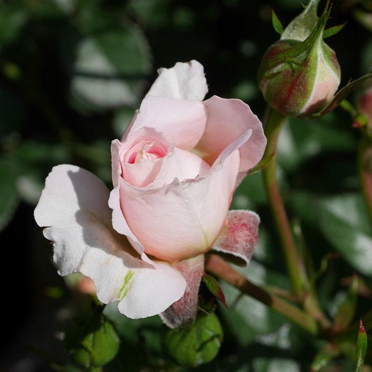 レディ・メイアンディナ(ミニバラ)の花が少し咲いた。2019年-2.jpg