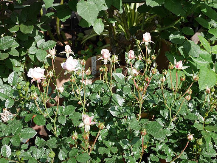 レディ・メイアンディナ(ミニバラ)の花が少し咲いた。2019年-5.jpg