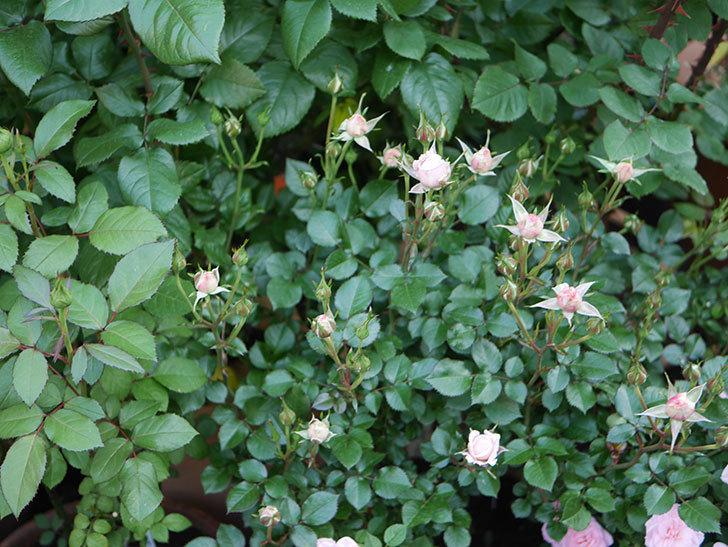 レディ・メイアンディナ(ミニバラ)の花が少し咲いた。2020年-10.jpg