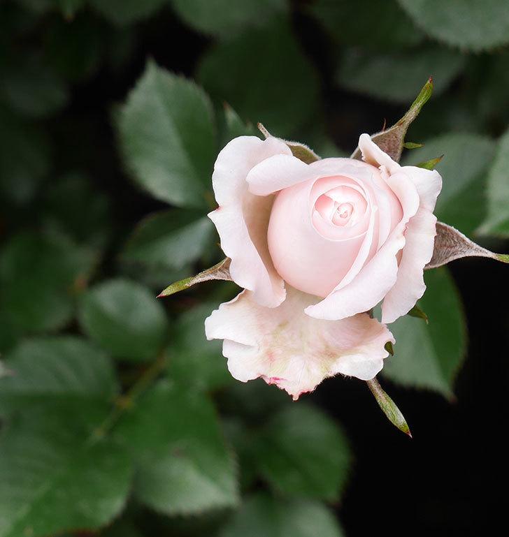 レディ・メイアンディナ(ミニバラ)の花が少し咲いた。2020年-2.jpg