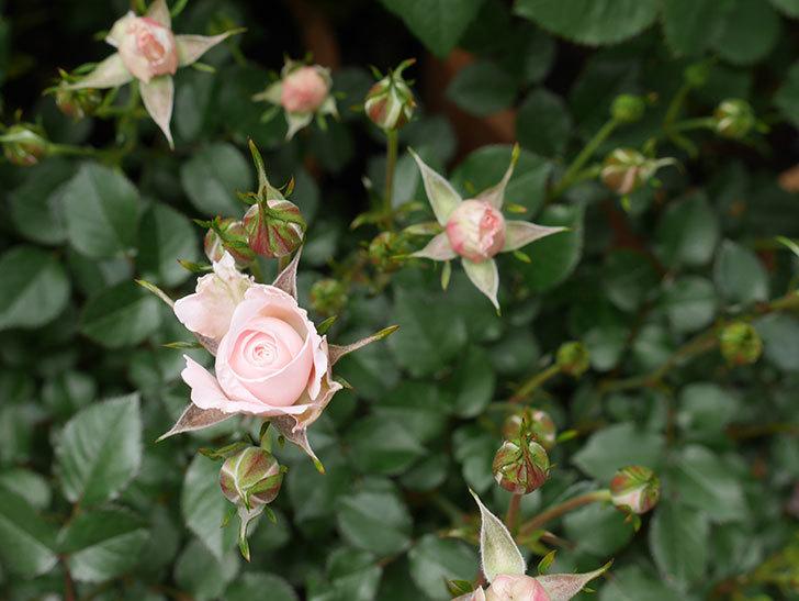 レディ・メイアンディナ(ミニバラ)の花が少し咲いた。2020年-3.jpg