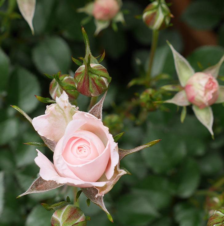 レディ・メイアンディナ(ミニバラ)の花が少し咲いた。2020年-5.jpg