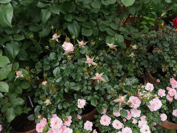 レディ・メイアンディナ(ミニバラ)の花が少し咲いた。2020年-6.jpg