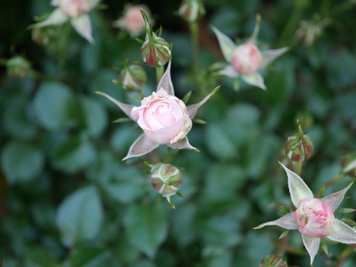 レディ・メイアンディナ(ミニバラ)の花が少し咲いた。2020年-7.jpg