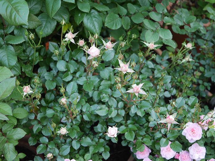 レディ・メイアンディナ(ミニバラ)の花が少し咲いた。2020年-9.jpg