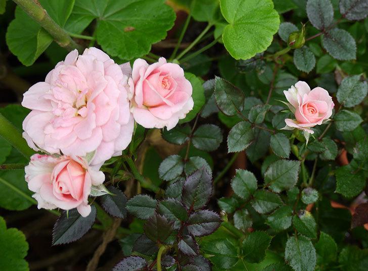レディ・メイアンディナ(ミニバラ)の開2番花が咲いた。2016年-1.jpg