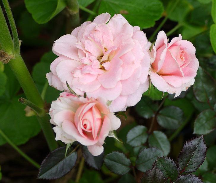 レディ・メイアンディナ(ミニバラ)の開2番花が咲いた。2016年-2.jpg