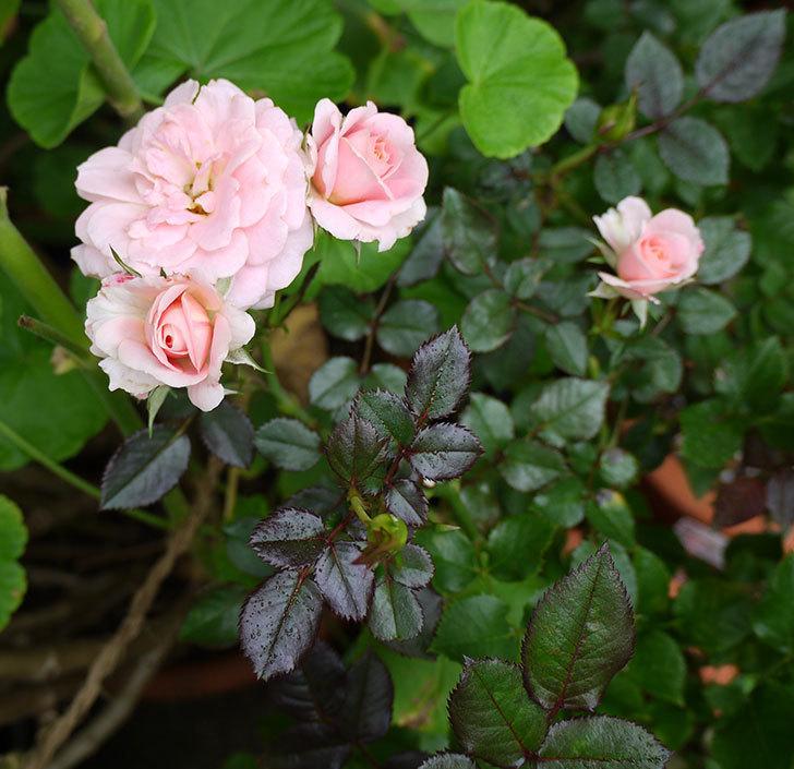 レディ・メイアンディナ(ミニバラ)の開2番花が咲いた。2016年-3.jpg