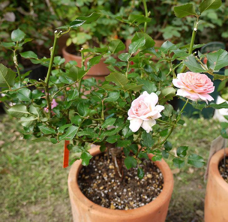 レディ・メイアンディナ(ミニバラ)の開花株を鉢に植えた。2016年-1.jpg