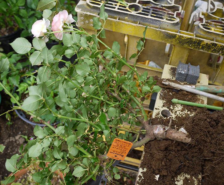 レディ・メイアンディナ(ミニバラ)の開花株を鉢に植えた。2016年-2.jpg