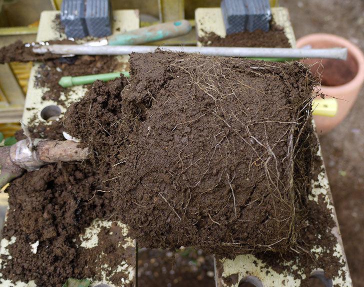 レディ・メイアンディナ(ミニバラ)の開花株を鉢に植えた。2016年-3.jpg