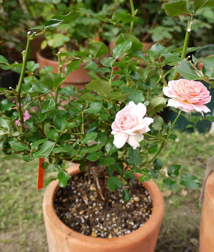 レディ・メイアンディナ(ミニバラ)の開花株を鉢に植えた。2016年-5.jpg