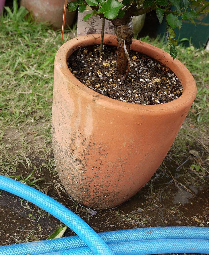 レディ・メイアンディナ(ミニバラ)の開花株を鉢に植えた。2016年-6.jpg