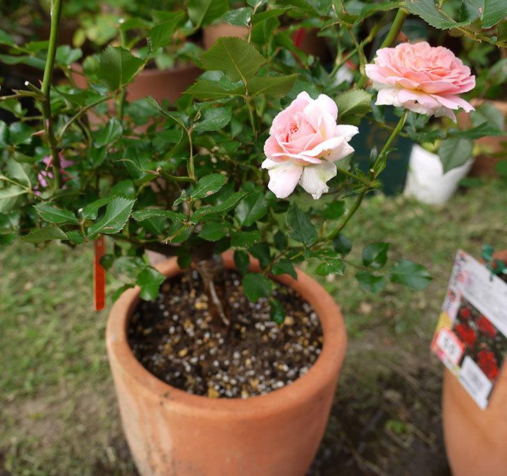 レディ・メイアンディナ(ミニバラ)の開花株を鉢に植えた。2016年-7.jpg