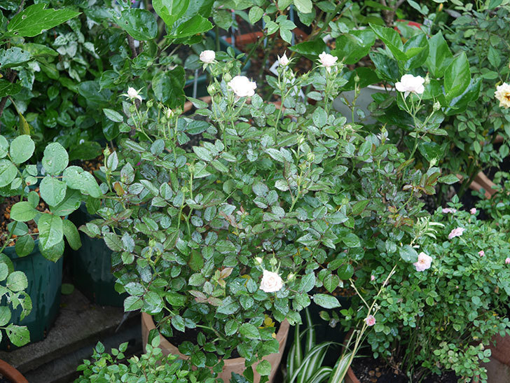 レディ・メイアンディナ(Lady Meillandina)の2番花が咲いた。ミニバラ。2020年-001.jpg