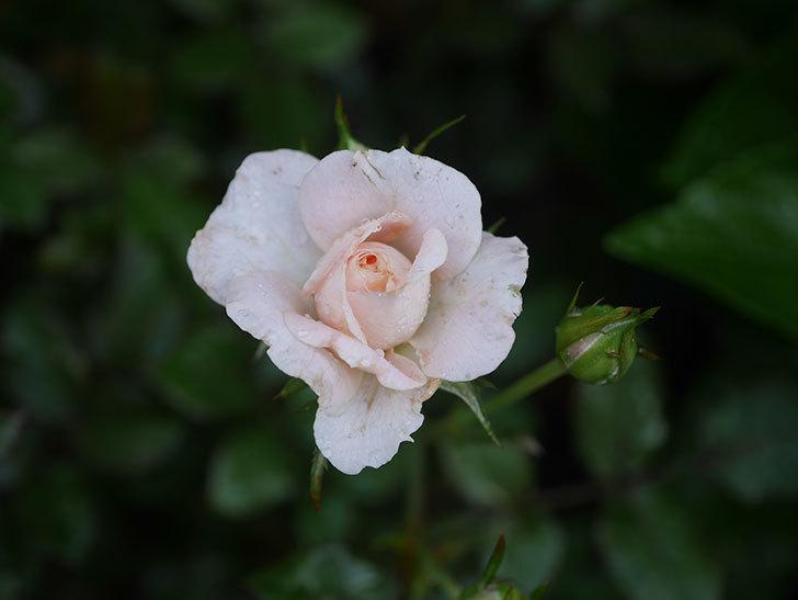 レディ・メイアンディナ(Lady Meillandina)の2番花が咲いた。ミニバラ。2020年-003.jpg