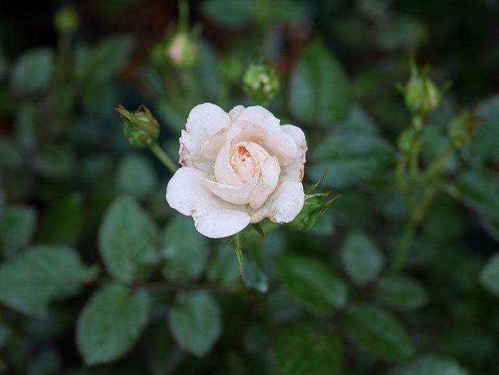 レディ・メイアンディナ(Lady Meillandina)の2番花が咲いた。ミニバラ。2020年-004.jpg