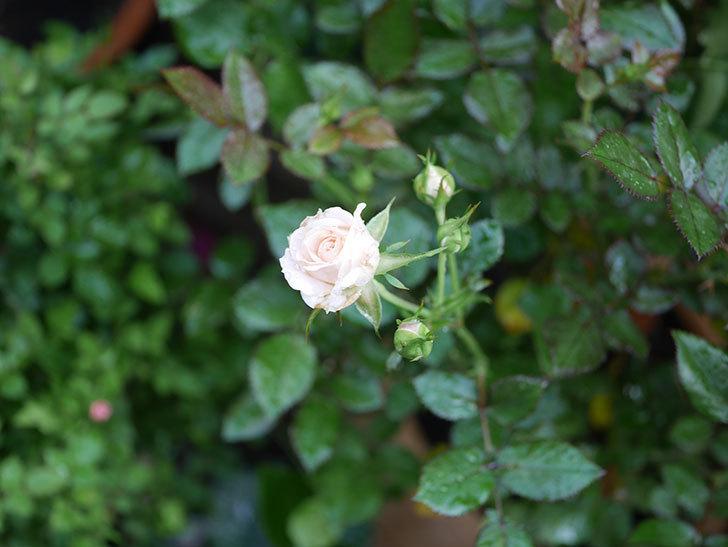 レディ・メイアンディナ(Lady Meillandina)の2番花が咲いた。ミニバラ。2020年-005.jpg