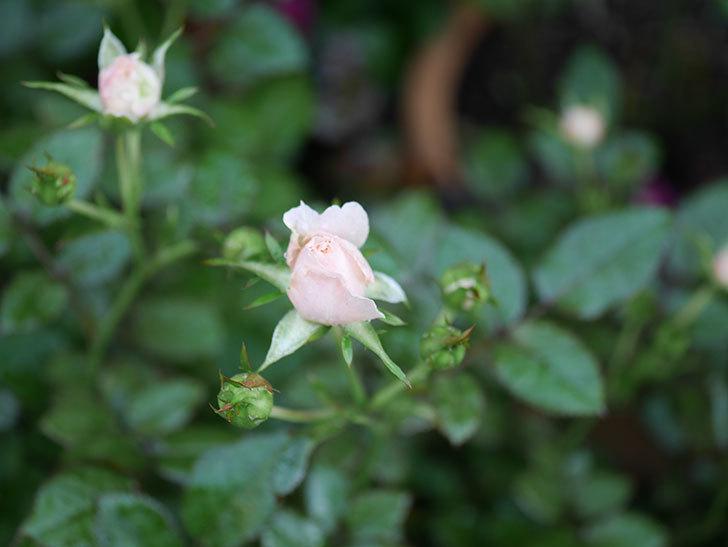 レディ・メイアンディナ(Lady Meillandina)の2番花が咲いた。ミニバラ。2020年-006.jpg