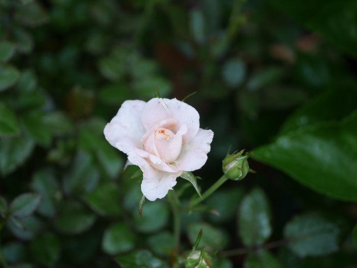 レディ・メイアンディナ(Lady Meillandina)の2番花が咲いた。ミニバラ。2020年-007.jpg
