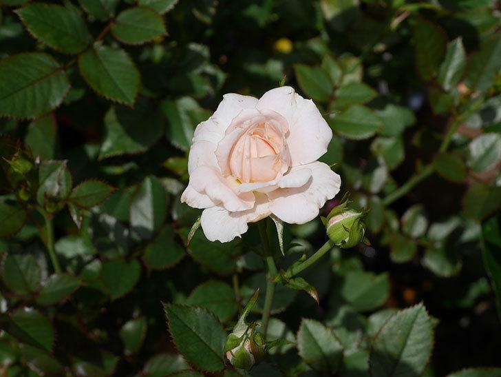 レディ・メイアンディナ(Lady Meillandina)の2番花が咲いた。ミニバラ。2020年-009.jpg