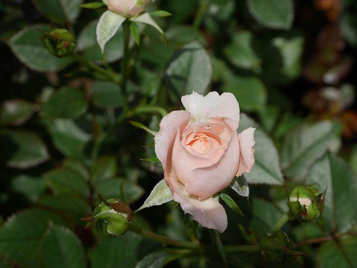レディ・メイアンディナ(Lady Meillandina)の2番花が咲いた。ミニバラ。2020年-010.jpg