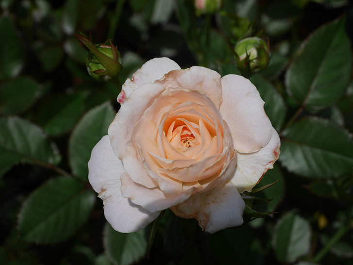 レディ・メイアンディナ(Lady Meillandina)の2番花が咲いた。ミニバラ。2020年-011.jpg