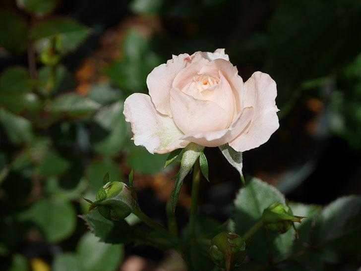 レディ・メイアンディナ(Lady Meillandina)の2番花が咲いた。ミニバラ。2020年-012.jpg