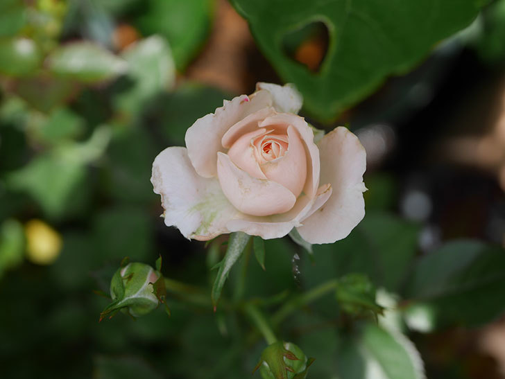 レディ・メイアンディナ(Lady Meillandina)の2番花が咲いた。ミニバラ。2020年-013.jpg