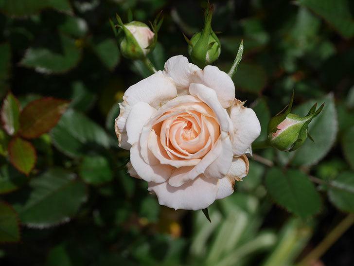 レディ・メイアンディナ(Lady Meillandina)の2番花が咲いた。ミニバラ。2020年-014.jpg
