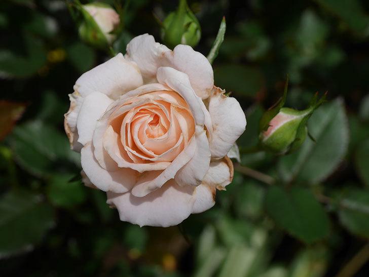 レディ・メイアンディナ(Lady Meillandina)の2番花が咲いた。ミニバラ。2020年-015.jpg