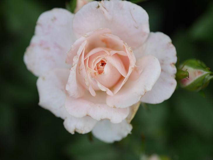 レディ・メイアンディナ(Lady Meillandina)の2番花が咲いた。ミニバラ。2020年-016.jpg