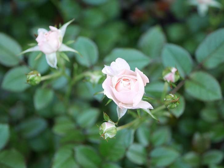 レディ・メイアンディナ(Lady Meillandina)の2番花が咲いた。ミニバラ。2020年-017.jpg
