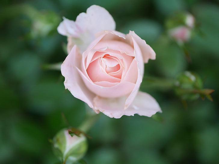 レディ・メイアンディナ(Lady Meillandina)の2番花が咲いた。ミニバラ。2020年-018.jpg