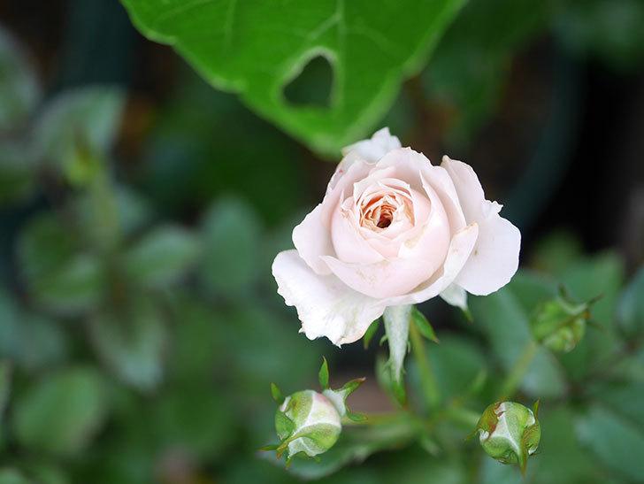 レディ・メイアンディナ(Lady Meillandina)の2番花が咲いた。ミニバラ。2020年-019.jpg