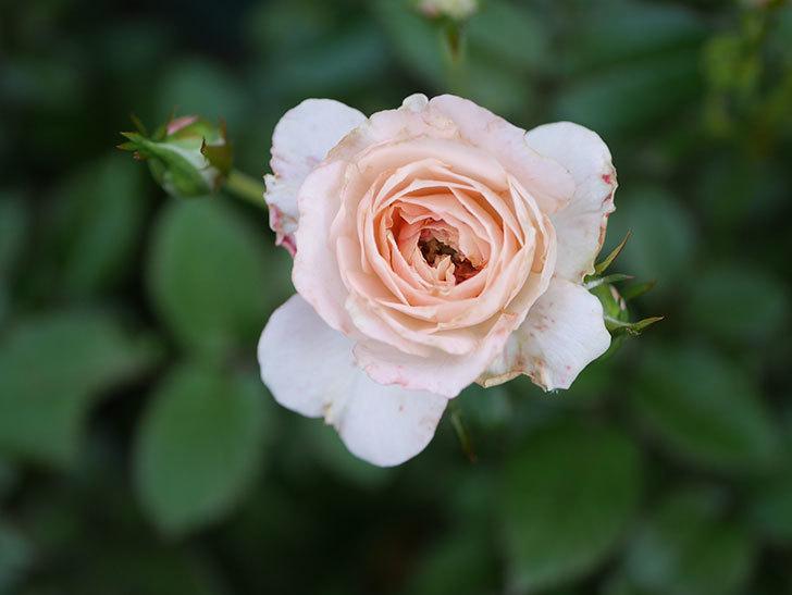 レディ・メイアンディナ(Lady Meillandina)の2番花が咲いた。ミニバラ。2020年-020.jpg