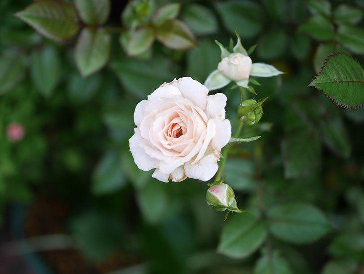 レディ・メイアンディナ(Lady Meillandina)の2番花が咲いた。ミニバラ。2020年-021.jpg