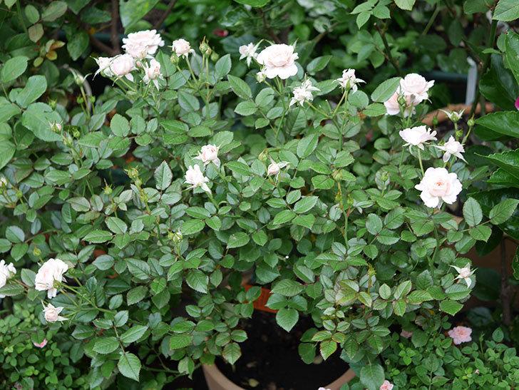 レディ・メイアンディナ(Lady Meillandina)の2番花が増えてきた。ミニバラ。2020年-001.jpg