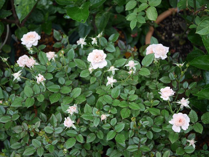 レディ・メイアンディナ(Lady Meillandina)の2番花が増えてきた。ミニバラ。2020年-002.jpg