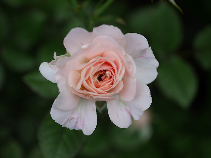 レディ・メイアンディナ(Lady Meillandina)の2番花が増えてきた。ミニバラ。2020年-003.jpg