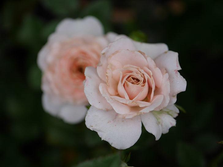 レディ・メイアンディナ(Lady Meillandina)の2番花が増えてきた。ミニバラ。2020年-004.jpg