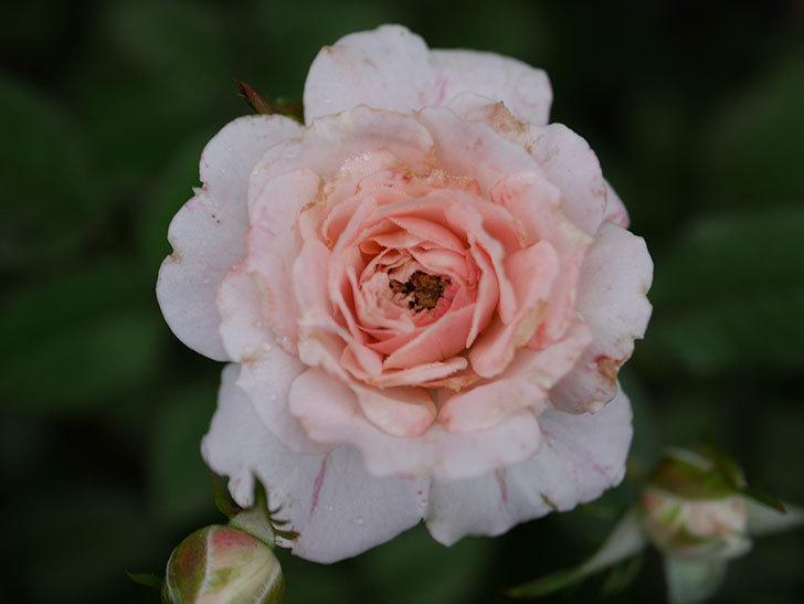 レディ・メイアンディナ(Lady Meillandina)の2番花が増えてきた。ミニバラ。2020年-005.jpg