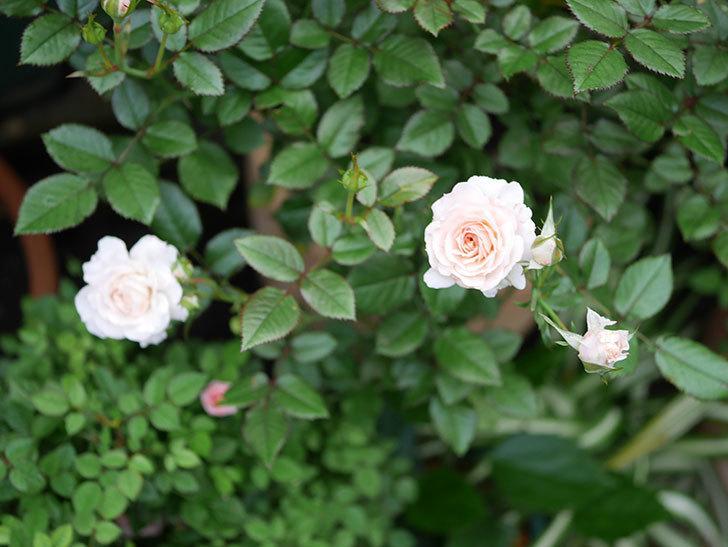 レディ・メイアンディナ(Lady Meillandina)の2番花が増えてきた。ミニバラ。2020年-007.jpg