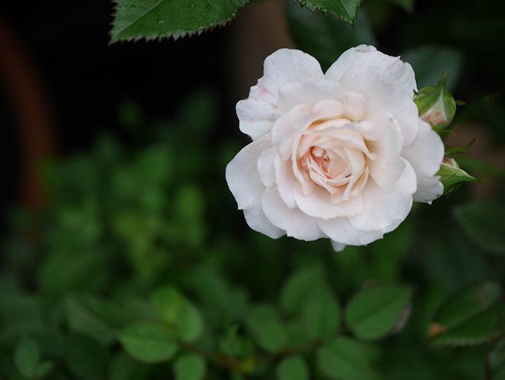 レディ・メイアンディナ(Lady Meillandina)の2番花が増えてきた。ミニバラ。2020年-008.jpg